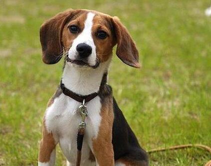 比格犬适合家养吗?饲养它必须注意的要点是什么?